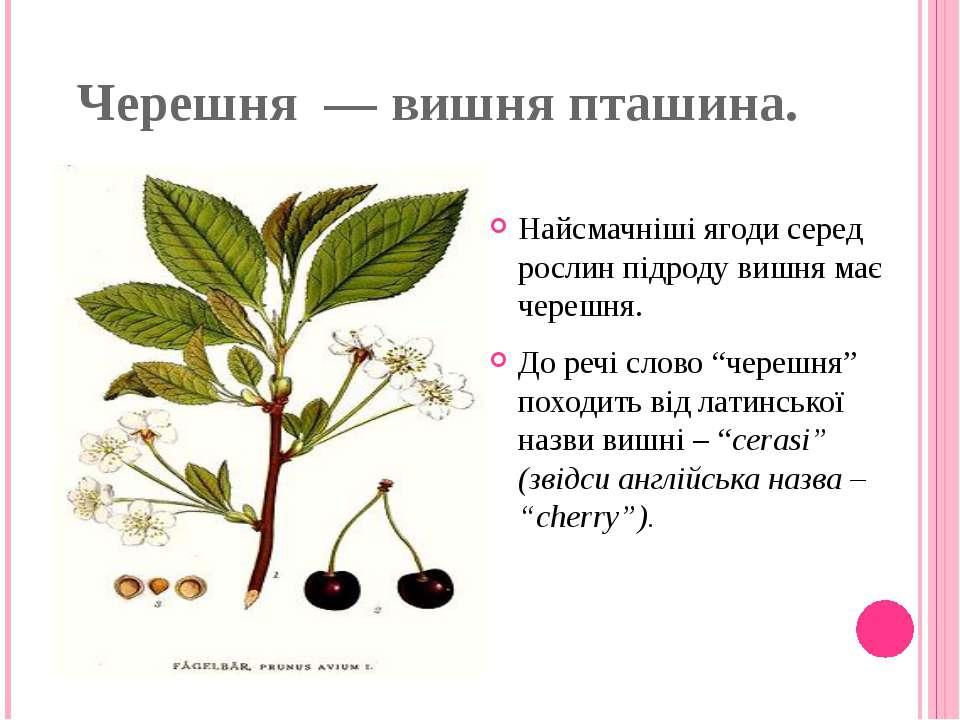 Черешня — вишня пташина. Найсмачніші ягоди серед рослин підроду вишня має че...