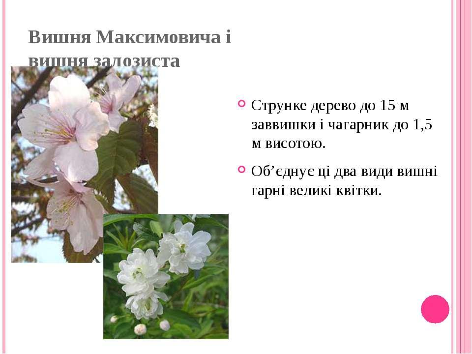 Вишня Максимовича і вишня залозиста Струнке дерево до 15 м заввишки і чагарни...