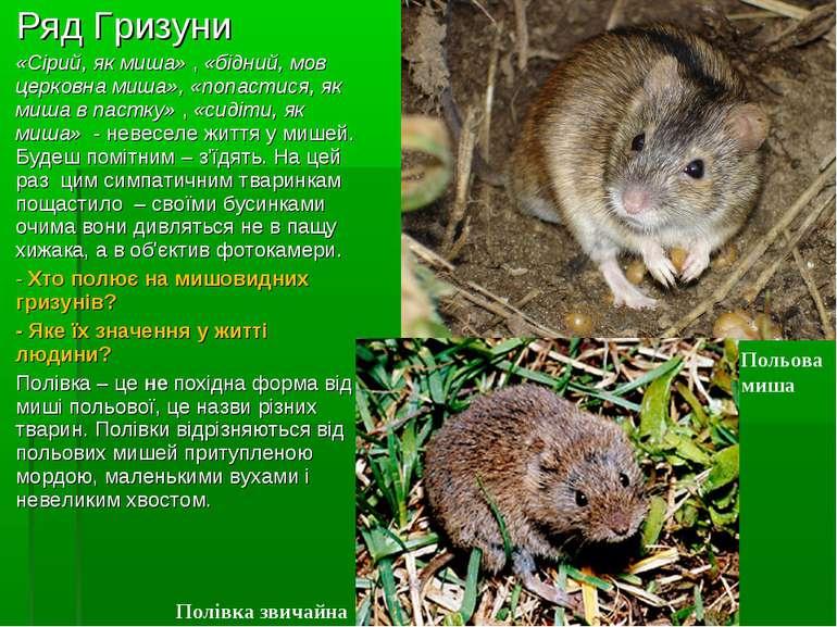 Ряд Гризуни «Сірий, як миша», «бідний, мов церковна миша», «попастися, як ми...