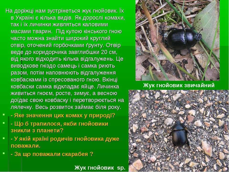 На доріжці нам зустрінеться жук гнойовик. Їх в Україні є кілька видів. Як дор...