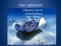 Скат - хвостокол