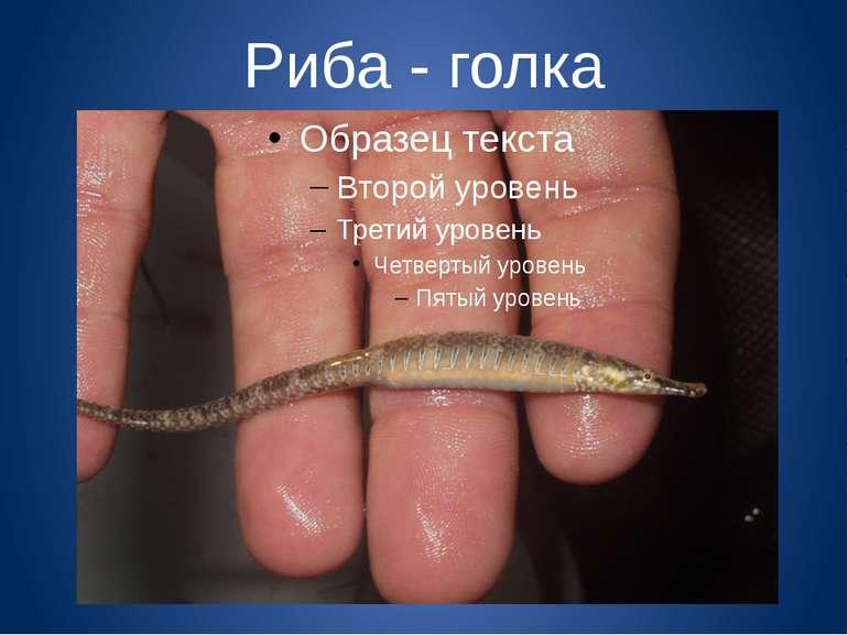 Риба - голка