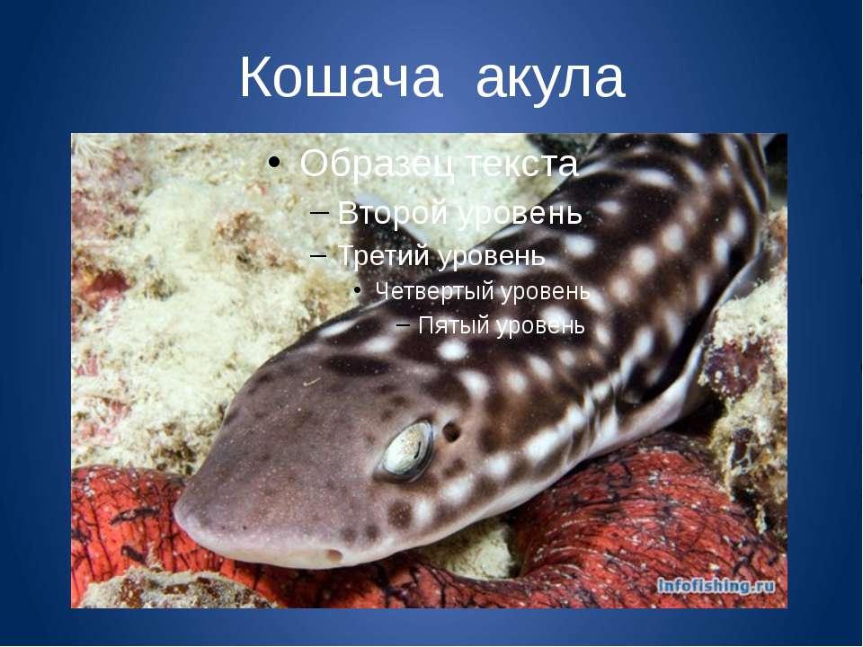 Кошача акула