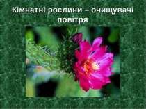 Кімнатні рослини – очищувачі повітря