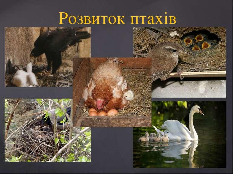 Розвиток птахів