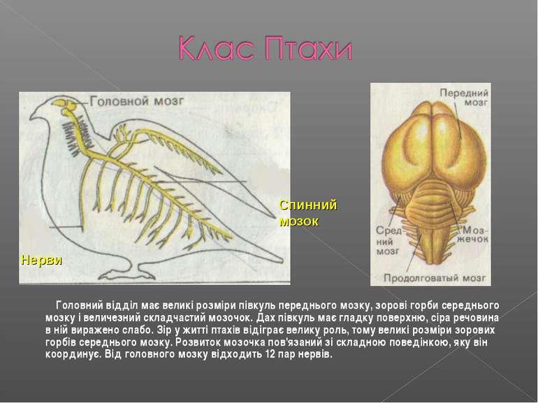 Головний відділ має великі розміри півкуль переднього мозку, зорові горби сер...