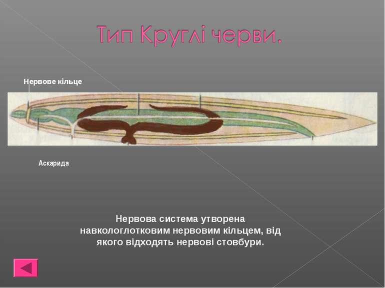 Нервова система утворена навкологлотковим нервовим кільцем, від якого відходя...