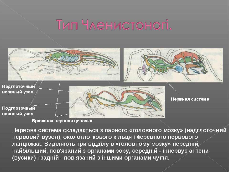 Нервова система складається з парного «головного мозку» (надглоточний нервови...