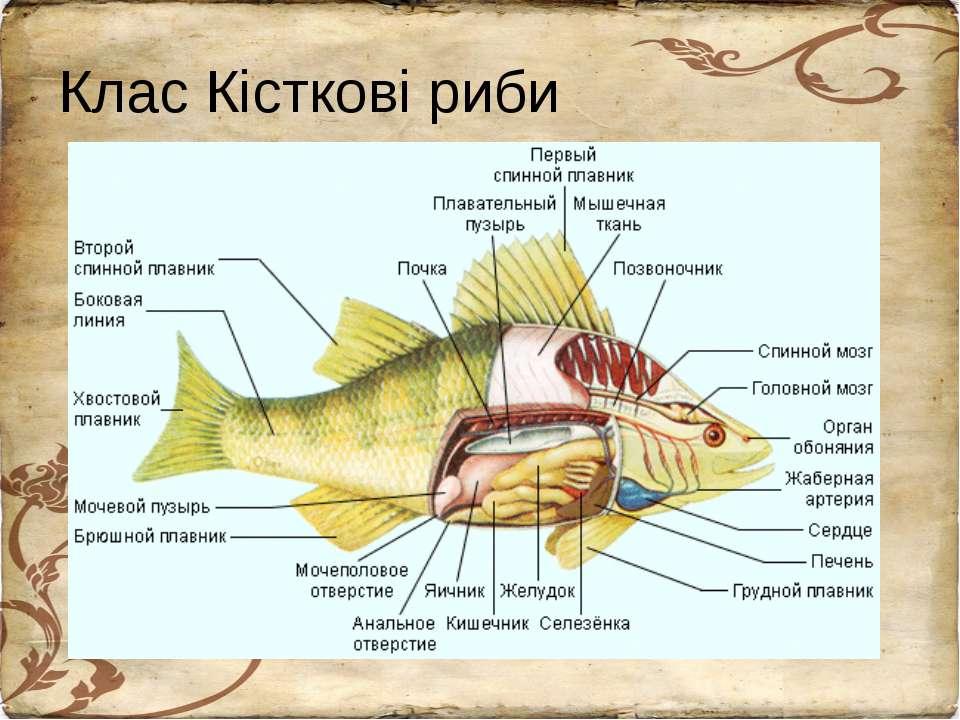 Клас Кісткові риби