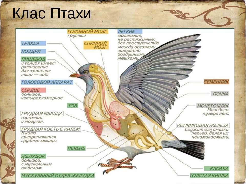 Клас Птахи