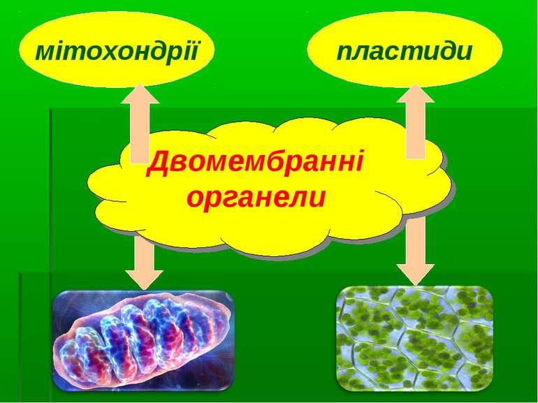 пластиди мітохондрії Двомембранні органели