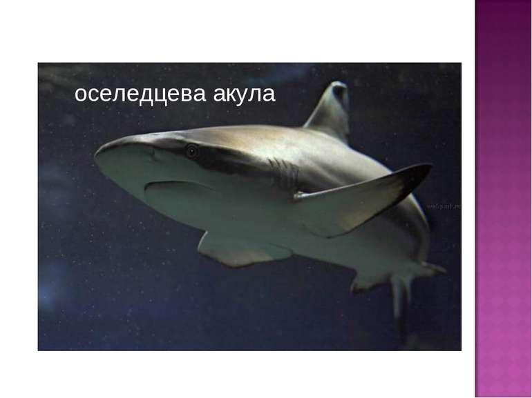 оселедцева акула