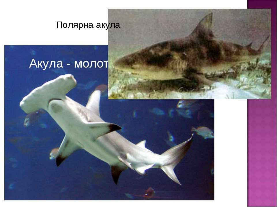 Полярна акула