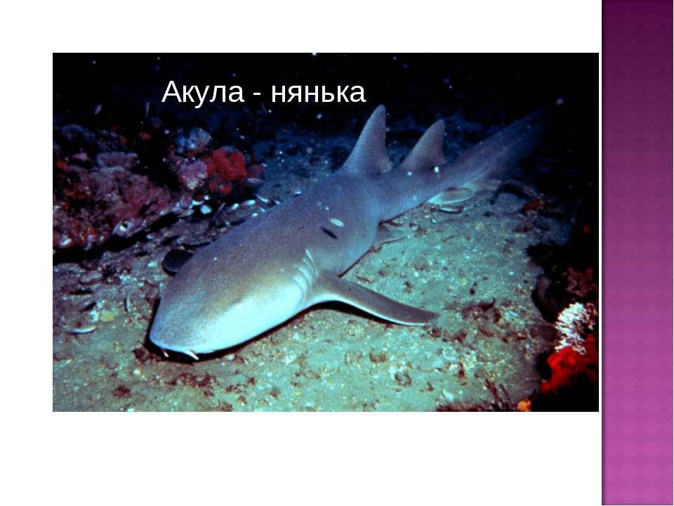 Акула - нянька