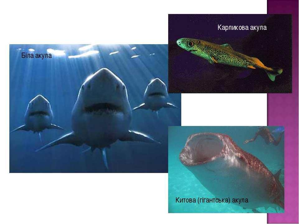 Біла акула Карликова акула Китова (гігантська) акула