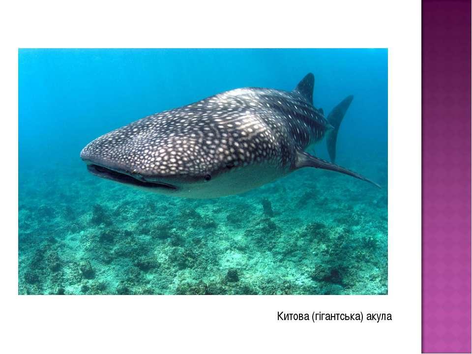 Китова (гігантська) акула