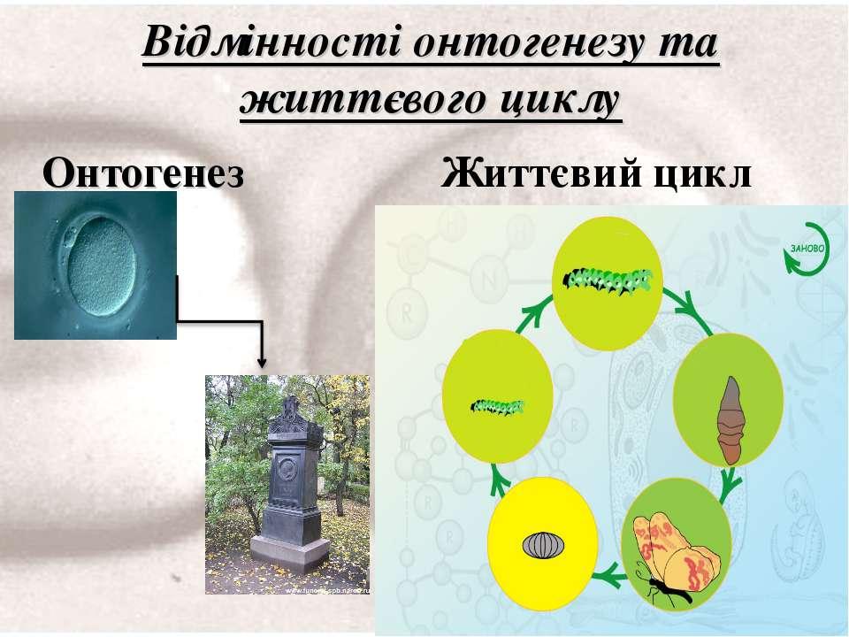 Онтогенез Життєвий цикл Відмінності онтогенезу та життєвого циклу