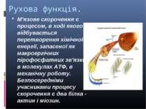 Рухова функція. М'язове скорочення є процесом, в ході якого відбувається пере...
