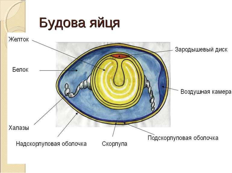 Будова яйця