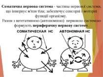 Соматична нервова система - частина нервової системи, що іннервує м'язи тіла;...