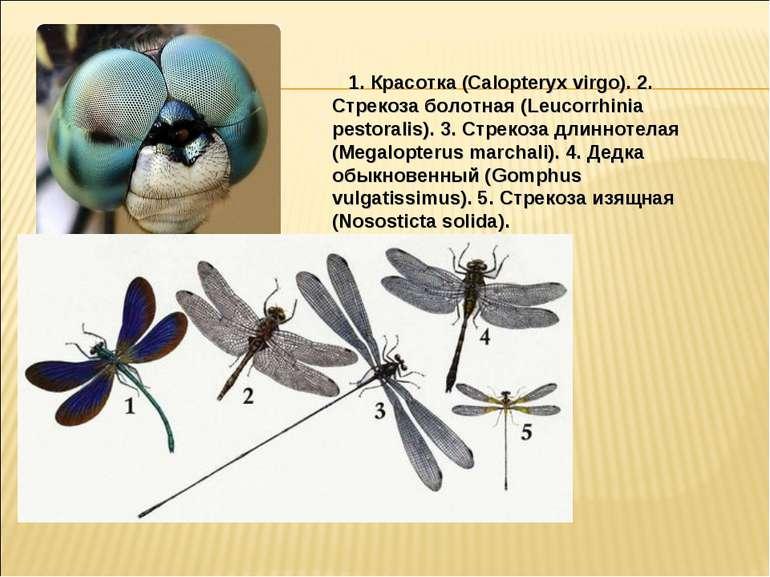 1. Красотка (Calopteryx virgo). 2. Стрекоза болотная (Leucorrhinia pestora...