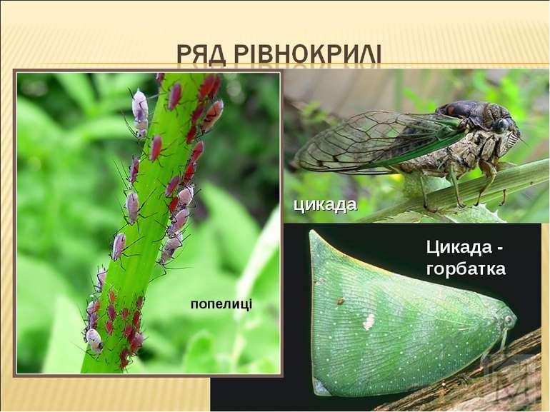 цикада попелиці Цикада - горбатка