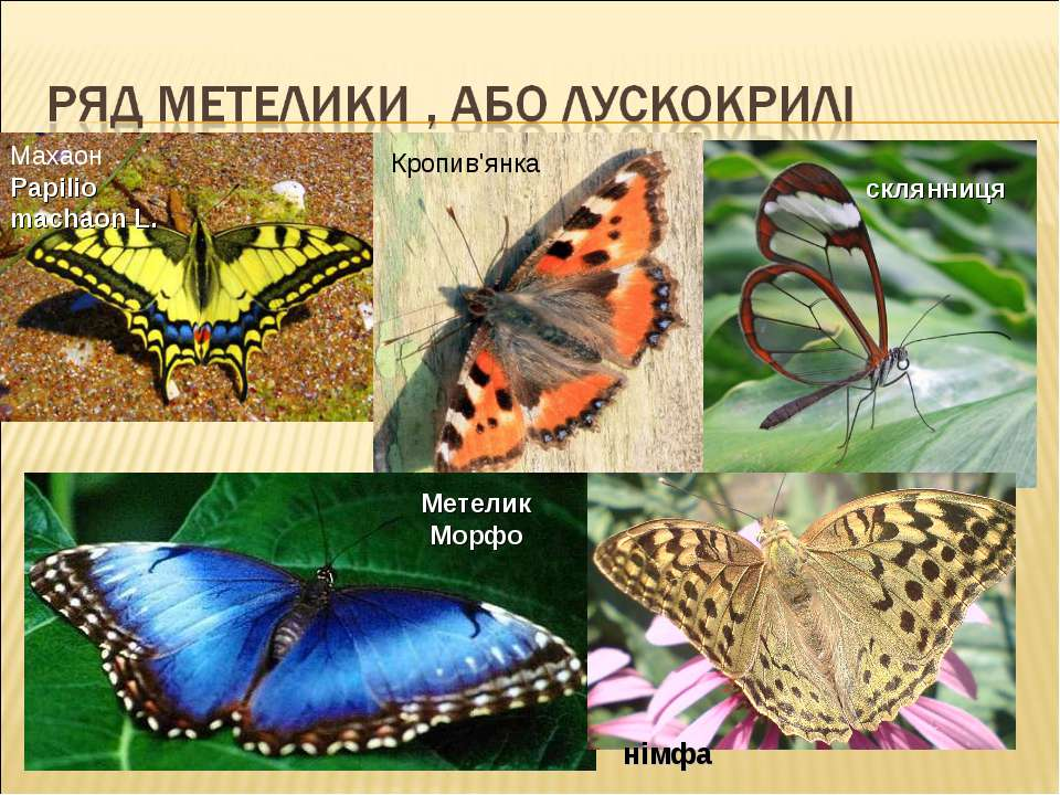 склянниця Кропив'янка Махаон Papilio machaon L. Метелик Морфо німфа