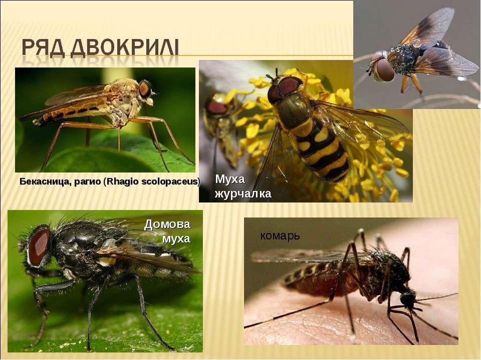 Бекасница, рагио (Rhagio scolopaceus) Муха журчалка Домова муха комарь