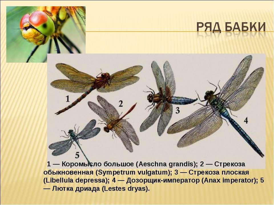 1 — Коромысло большое (Aeschna grandis); 2 — Стрекоза обыкновенная (Sympetr...
