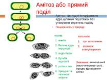 Амітоз або прямий поділ Амітоз - це поділ інтерфазного ядра шляхом перетяжки ...