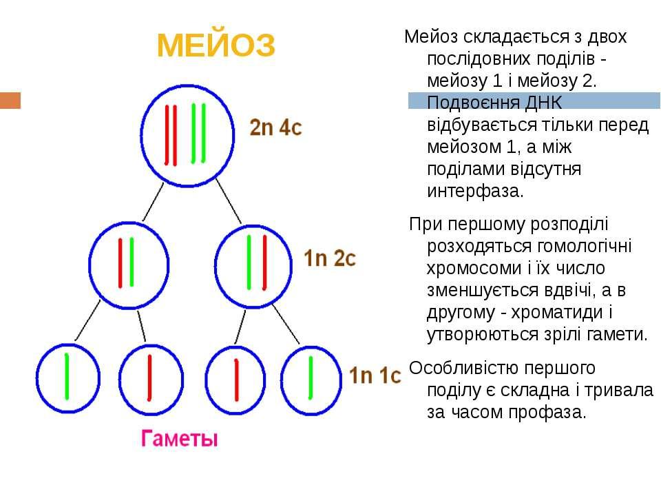 МЕЙОЗ Мейоз складається з двох послідовних поділів - мейозу 1 і мейозу 2. Под...