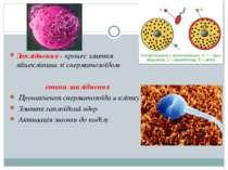 Запліднення - процес злиття яйцеклітини зі сперматозоїдом етапи запліднення П...