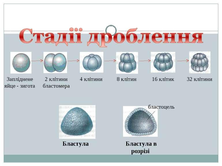 Запліднене яйце - зигота 2 клітини бластомера 4 клітини 8 клітин 16 клітик 32...