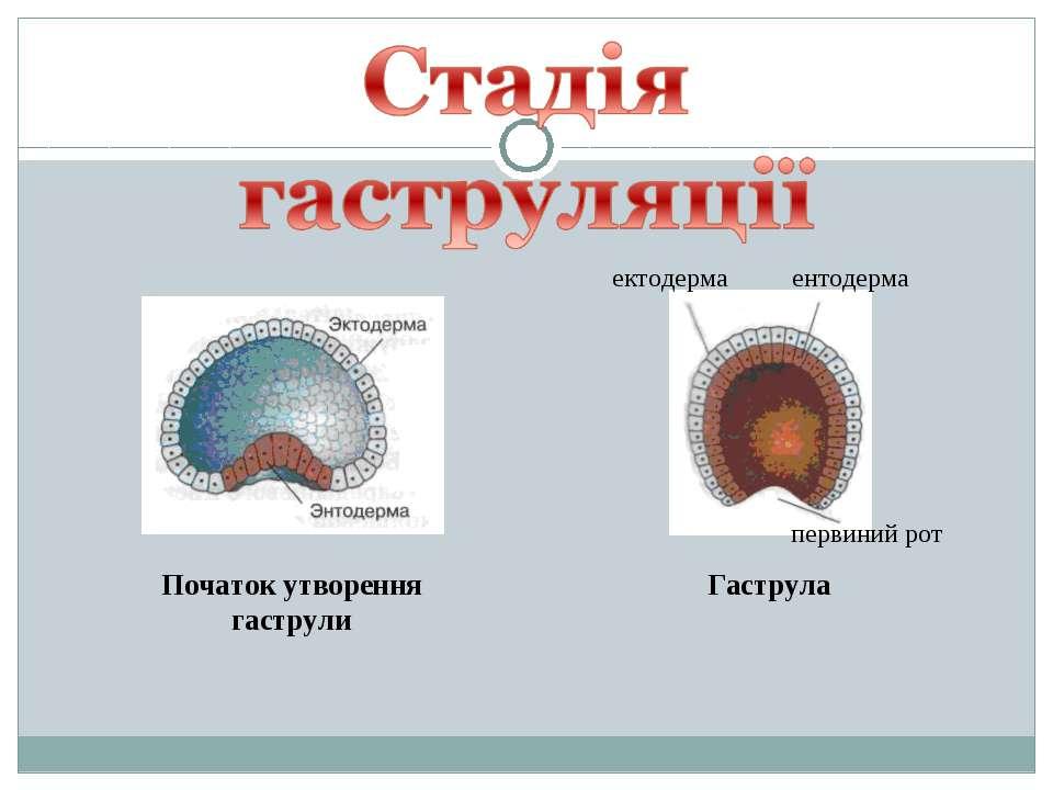 Початок утворення гаструли Гаструла ектодерма ентодерма первиний рот