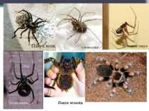 Павук волк сінокосець Домовий павук Чорна вдова Павук птахоїд