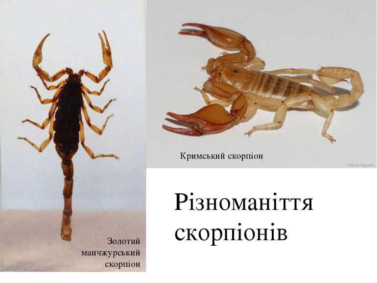 Різноманіття скорпіонів Кримський скорпіон Золотий манчжурський скорпіон