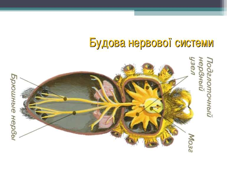 Будова нервової системи