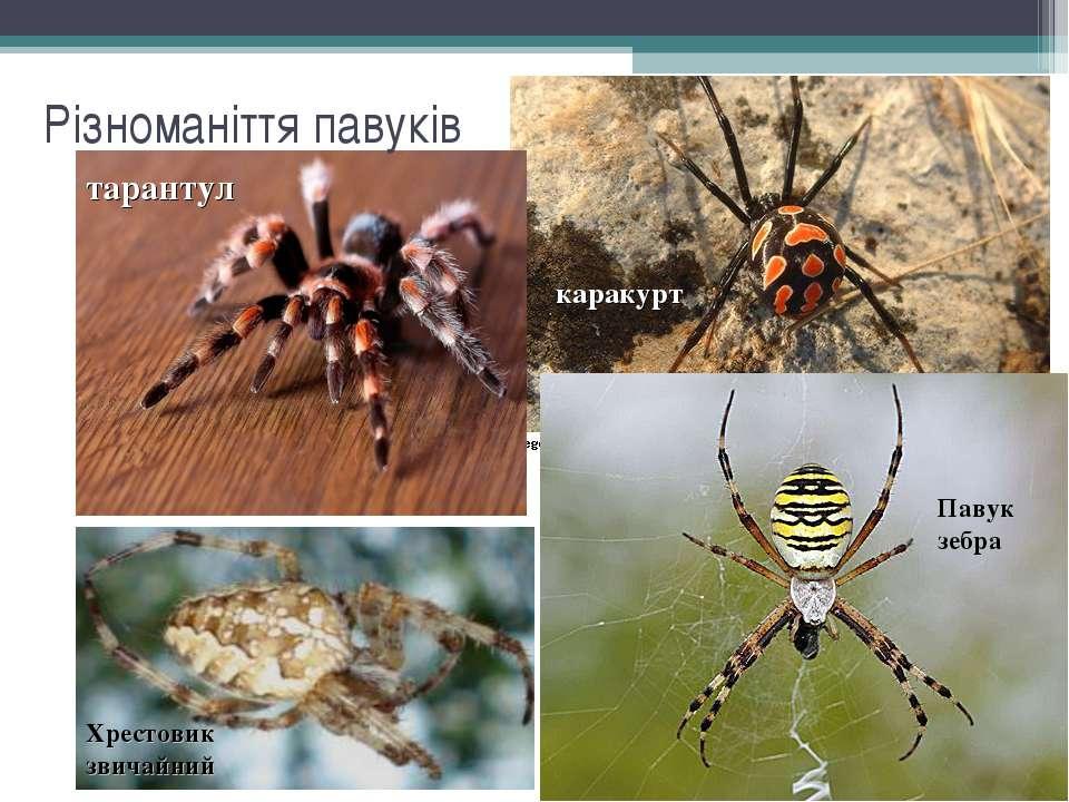 Різноманіття павуків каракурт тарантул Павук зебра Хрестовик звичайний