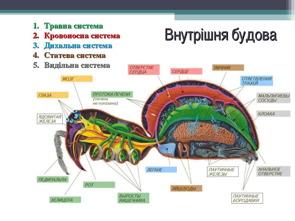 Внутрішня будова Травна система Кровоносна система Дихальна система Статева с...