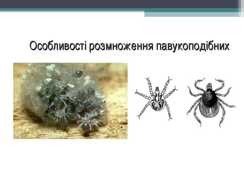 Особливості розмноження павукоподібних