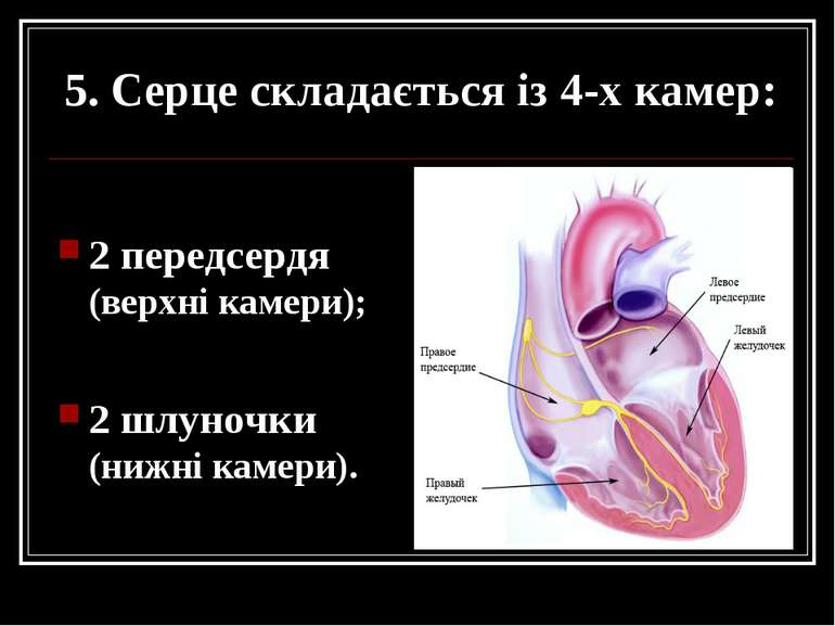 5. Серце складається із 4-х камер: 2 передсердя (верхні камери); 2 шлуночки (...