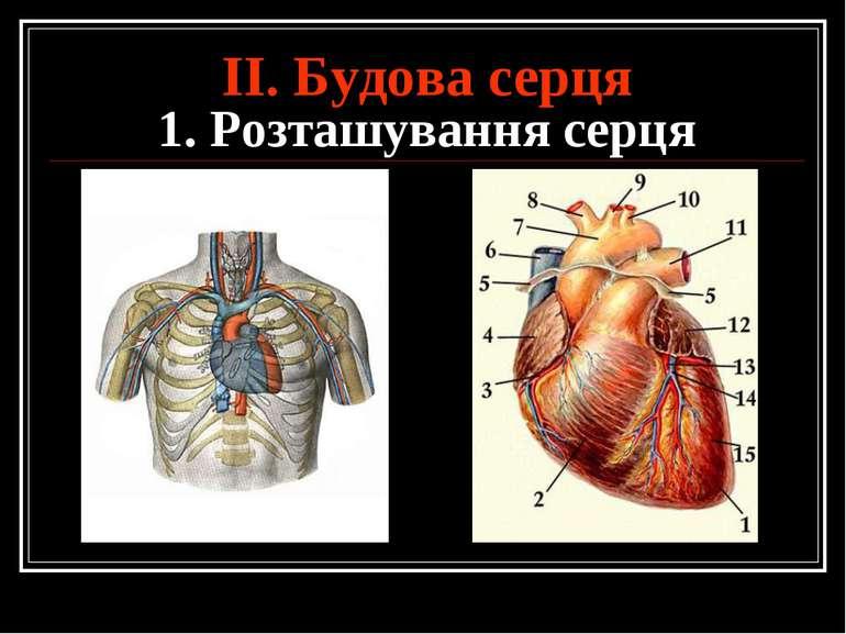 ІІ. Будова серця 1. Розташування серця