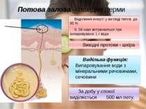 Потова залоза – похідна дерми Виділення енергії у вигляді тепла до 85 % 0, 58...