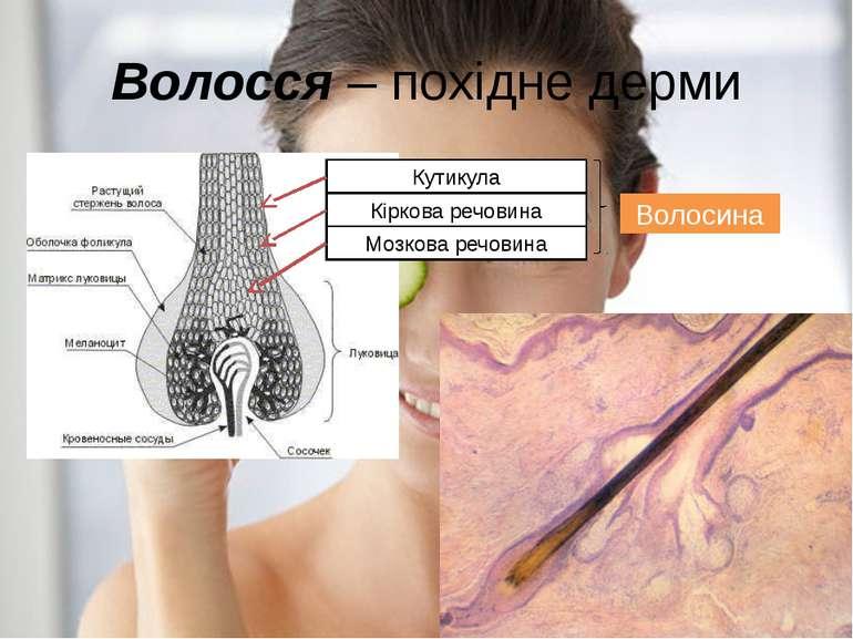 Волосся – похідне дерми Кутикула Кіркова речовина Мозкова речовина Волосина