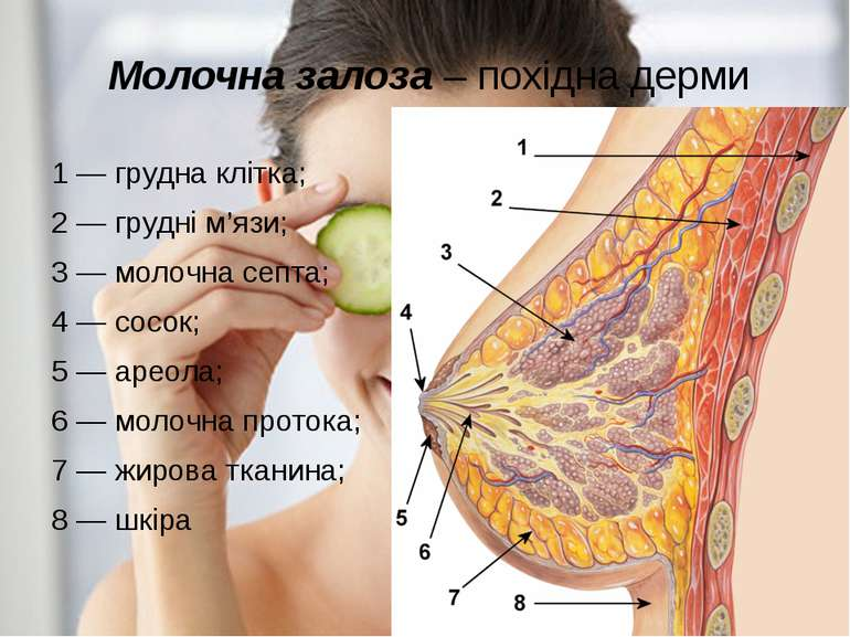 Молочна залоза – похідна дерми 1—грудна клітка; 2—грудні м'язи; 3—молоч...