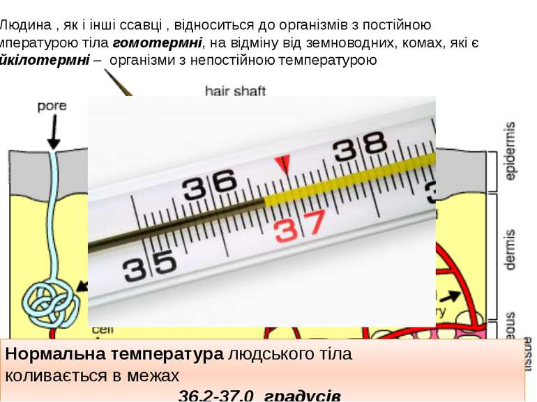 Людина , як і інші ссавці , відноситься до організмів з постійною температуро...