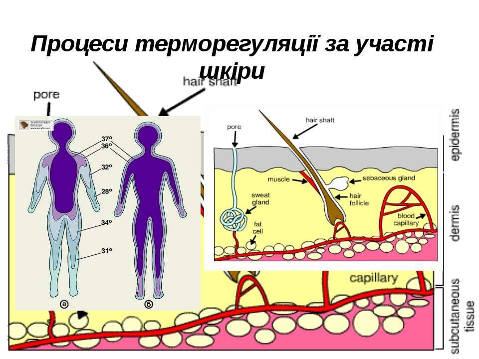 Процеси терморегуляції за участі шкіри
