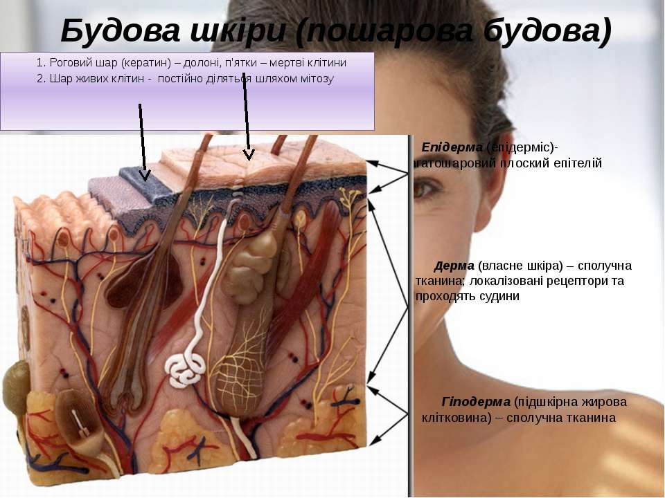 Будова шкіри (пошарова будова) Епідерма (епідерміс)- багатошаровий плоский еп...