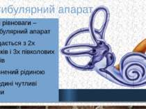Вестибулярний апарат Орган рівноваги – вестибулярний апарат Складається з 2х ...
