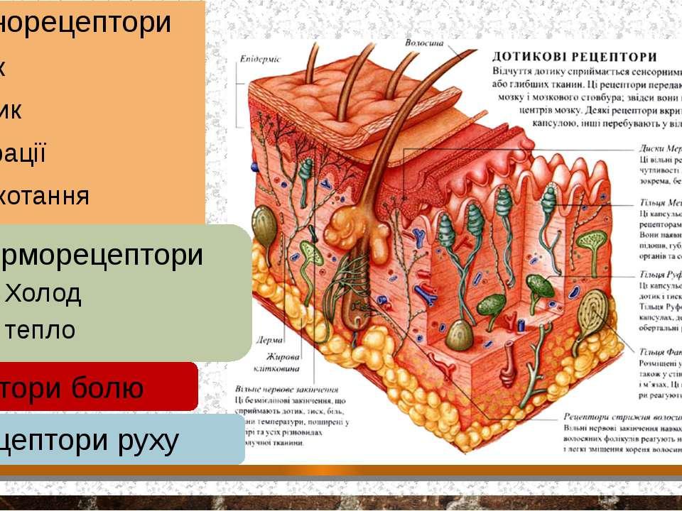 Механорецептори Тиск Дотик Вібрації лоскотання терморецептори Холод тепло Рец...